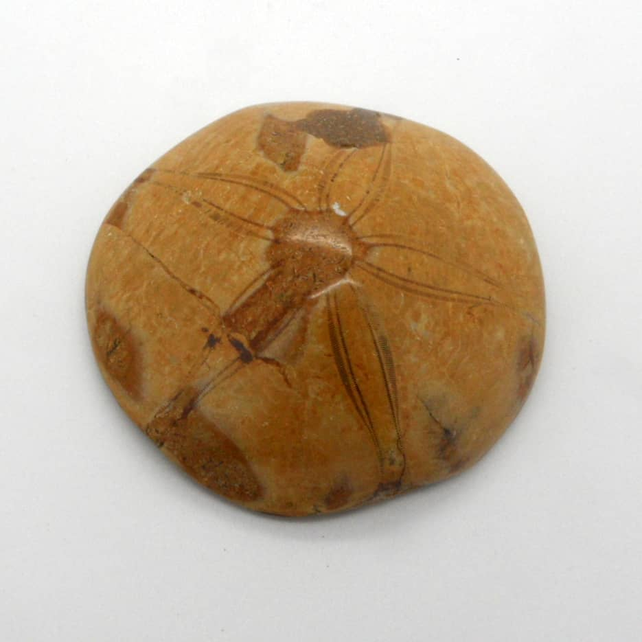 Fossil Sea Urchin top