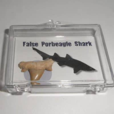 False Porbeagle Shark
