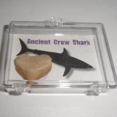Ancient Crow Shark - Squalicorax pristodontus