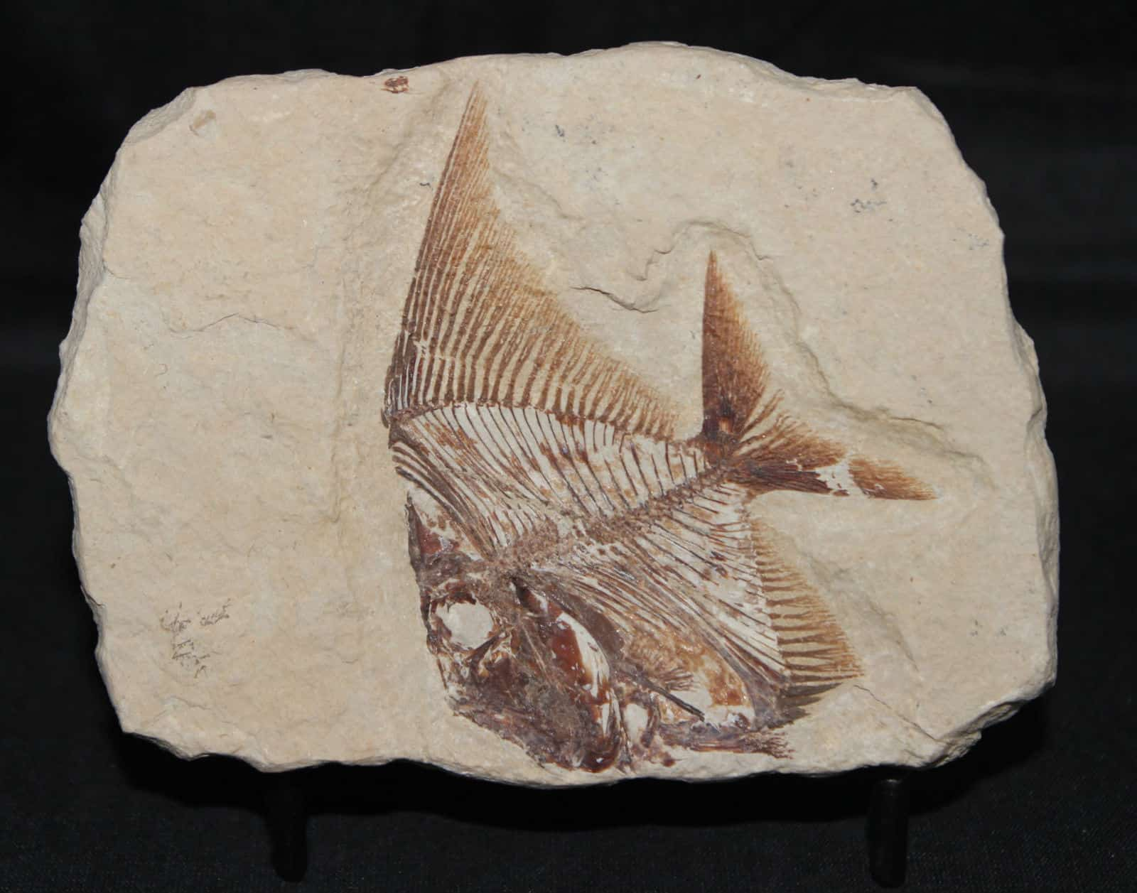Fish Fossil Aipichthys velifer