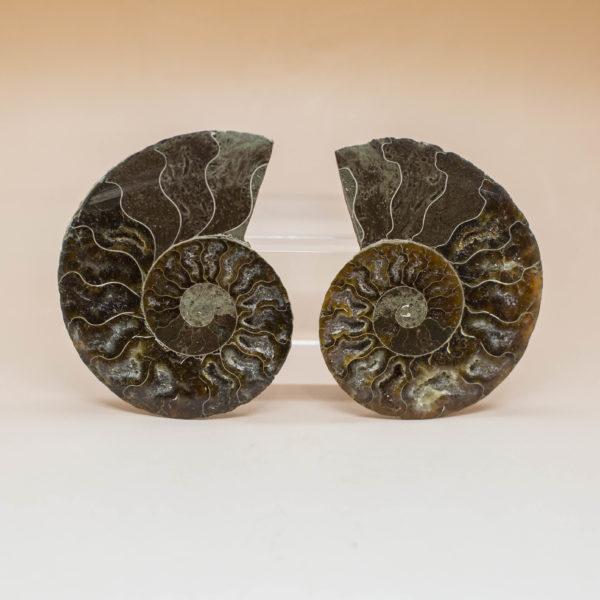 Ammonite Pair (4)