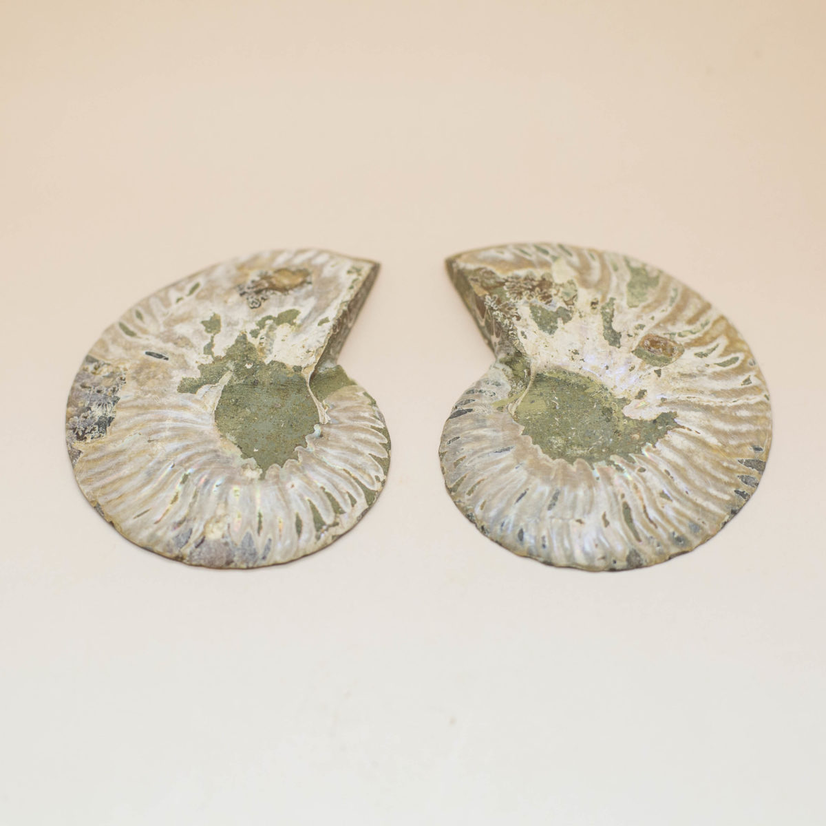 Ammonite Pair (1)