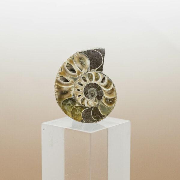 Ammonite (4)