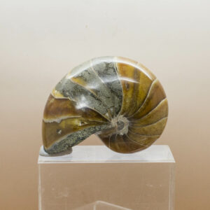 Nautiliod Fossil (7)