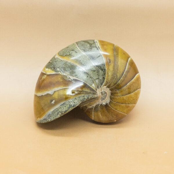 Nautiliod Fossil (1)