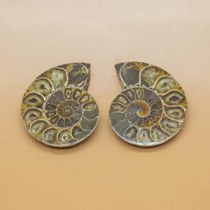 ammonite (1)